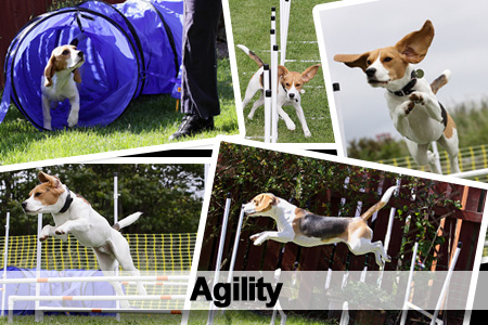 Agility Beagles