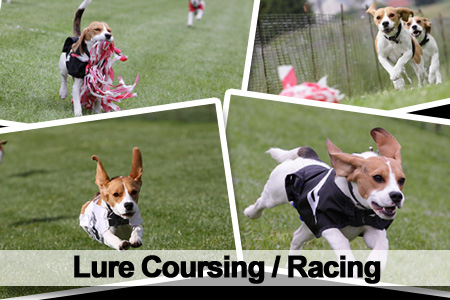 Lure Coursing Beagles