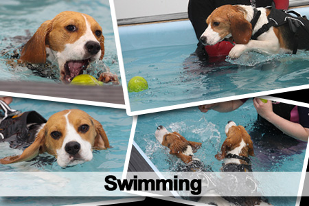 Swimming Beagles