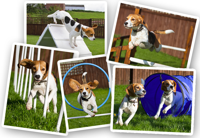Agility – Life with Beanie the Beagle and Biggles